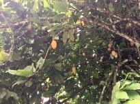 Tomohon - Fèves de cacao