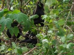 Tangkoko - Macaque crête noire