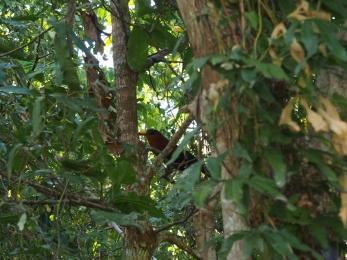 Pard Tangkok - Malcoha à bec jaune